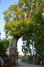 Anıt Ağacı Kızılkeçili Köyü